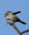 Arrow-marked Babbler, Turdoides jardineii, at Pilanesberg National Park, Northwest Province, South Africa (28055706593).jpg