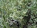 Artemisia arbuscula (5144314286).jpg