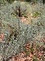 Artemisia tridentata kz19.jpg