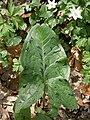 Arum maculatum leaf.JPG