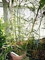 Asparagus aethiopicus - Copenhagen Botanical Garden - DSC08030.JPG