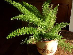 Asparagus densiflorus - Image: Asparagus densiflorus 'Myersii'