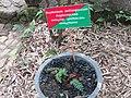 Asplenium aethiopiccum at Periya (1).jpg
