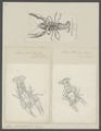 Astacus fluviatilis - - Print - Iconographia Zoologica - Special Collections University of Amsterdam - UBAINV0274 097 01 0003.tif