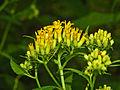 Asteraceae - Senecio ovatus-001.JPG