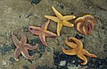 Asterias rubens, 1000s washed up - seahouses. 1973 (37137382433).jpg