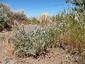 Astragalus andersonii (35216289331).jpg