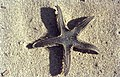 Astropecten jonstoni (38598440081).jpg