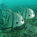 Atlantic Spadefish.jpg