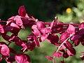 Atriplex hortensis var. rubra 2021-09-01 9967.jpg