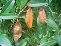 Attacus atlas-botanical-garden-of-bern 11.jpg