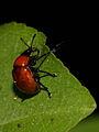 Attelabus nitens (Attelabidae) - Eichenblattroller (10105441554).jpg