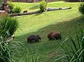 Australian Common Wombats.jpg