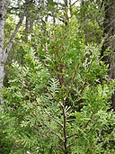 Austrocedrus chilensis - branch - 01.JPG