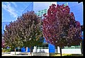 Autumn leaves of Canberra-02 (5856170238).jpg