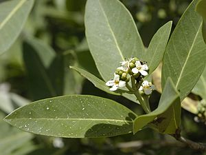 Avicennia germinans - Black mangrove flowers