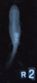 Axolotl with Grit XRay.png