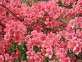 Azaleas on Mount Guifengshan in Macheng City, Huanggang, Hubei 30.jpeg