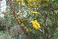 Azara lanceolata-ramas.jpg