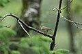 Bøksanger. (Phylloscopus sibilatrix) Wood Warbler.jpg