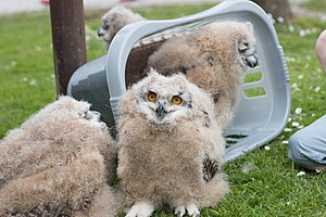 Screech Owl Sanctuary - Baby Siberian eagle-owls at the Screech Owl Sanctuary, St. Columb Major, Cornwall