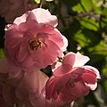 Backlit Roses (6865338261).jpg