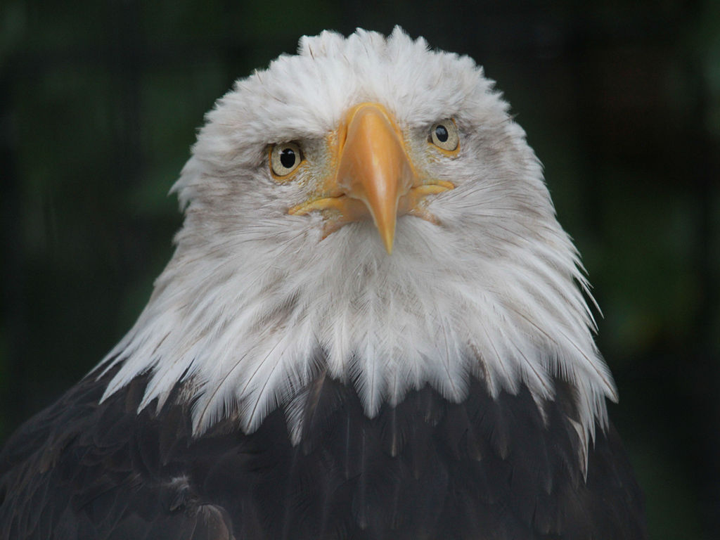File Bald Eagle Rwd Jpg Wikimedia Commons
