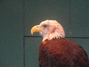 "South Carolina Aquarium - Image: Bald eagle named ""Liberty"" in Charleston, SC IMG 4606"