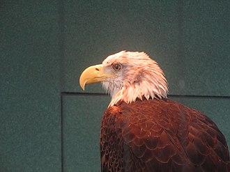 "South Carolina Aquarium - Image: Bald eagle named ""Liberty"" in Charleston, SC IMG 4606"