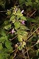 Ballota nigra 102294632.jpg