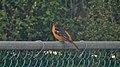 Baltimore Oriole (Icterus galbula) - Mississauga, Ontario.jpg