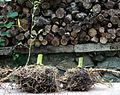 Bamboo Rhizome 03.jpg