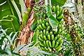 Banana Plant - Musa 'Mon Mari' (49376248196).jpg