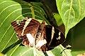 Banana stem borer (Telchin licus insularis) Tr.JPG
