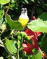 Bananaquit.jpg