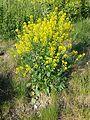 Barbarea vulgaris sl2.jpg