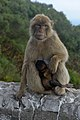 Barbary macaques in Gibraltar.jpg
