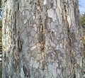 Bark of Emblica Officinalis.jpg