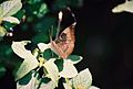 Baron butterfly at Bhadra wildlife sanctuary.jpg