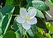Bauhinia acuminata 31 08 2012 (2).jpg