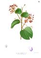Bauhinia cumingiana Blanco1.76.png