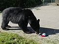 Bear at Tongass National Forest - August 2017 02.jpg