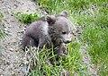 Bear cub (4872319102).jpg