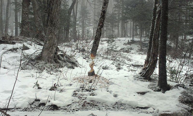 Beaver work on a tree in winter.jpg