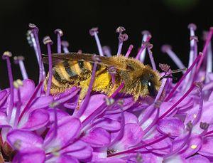 Halictinae - Halictus scabiosae