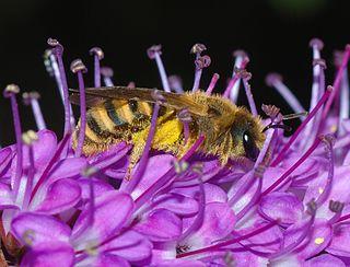 <i>Halictus</i> Genus of bees