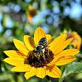 Bee on Sunny Flower (5640720581).jpg