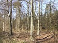 Beech and conifer - geograph.org.uk - 527996.jpg