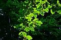 Beech leaves - Flickr - Stiller Beobachter.jpg