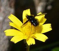 Beefly, Bombylella atra (31706653033).jpg